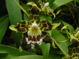 1_9_Orchids at Jardin Botanical de Quito.JPG