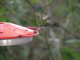 2_4_Hummingbird at feeder.JPG