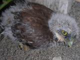 3_6a_Pacific Pygmy Owl chick.JPG