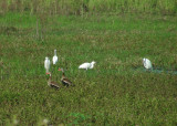 3_8_Snowy Egrets and Black-bellied Whistling Ducks.JPG