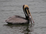 4_0_Peruvian Pelican.JPG