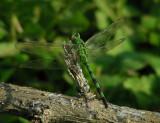 4_1_Dragonfly spp.JPG