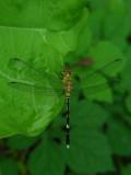 4_2_Dragonfly spp.JPG