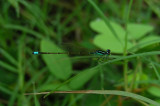 4_3_Damselfly spp.JPG