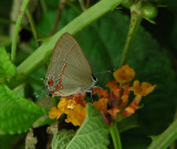 4_4_Hairstreak butterfly spp.JPG