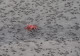 5_9_Ghost Crab.JPG