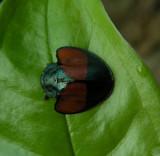 7_0_Beetle spp.JPG