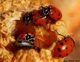 Lady bug convention on a pumpkin stalk