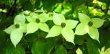 Japanese Dogwood Blossoms