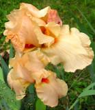 Fancy Peach Iris