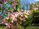 Pink Dogwood Blossoms