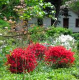 Red Azaleas in the Mansion Garden