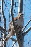 Buse à queue rousse, juvenile (Red-Tailed hawk)
