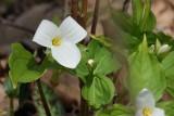 Trille blanche (Great White Trillium)