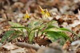 Erytrone d' Amérique (Trout lily)