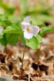 Trille blanche rose  (Great White Trillium)