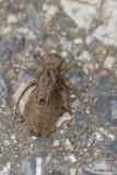 Larve vivante libellule (Dragonfly larva alive)