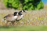 Bernaches du Canada (Canada geese)