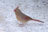 Cardinal rouge, femelle (Northern cardinal)