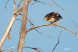 Buse à queue rousse, immature (Red-tailed hawk) 1/2