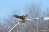 Buse à queue rousse, immature (Red-tailed hawk)3/3