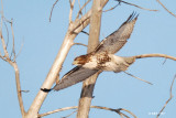 Buse à queue rousse, immature (Red-tailed hawk) 2/2