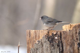 Junco ardoisé (Dark-eyed Junco)