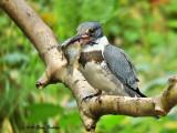 Belter Kingfisher & fish