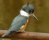 Belted Kingfisher f.