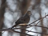 Pigeons, Doves, Parrots & Cuckoos