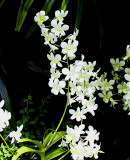 Princess Diana orchid