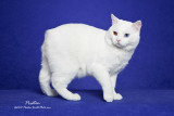 The Odd Eyed White Manx