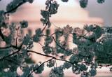 memorial blossoms.jpg