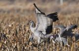 Sandhill Cranes  0309-5j  Othello, WA