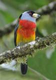 Toucan Barbet  011010-1j  Sachatina