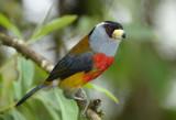 Toucan Barbet  011010-4j  Sachatina