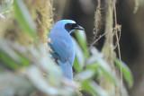 Turquoise Jay  011410-1j  Tandaypa