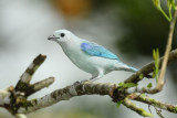 Blue-gray Tanager  011210-2j  Puerto Vicente