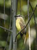 Social Flycatcher  011510-1j  Tandaypa