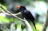 Black-fronted Nunbird  012210-1j  Sani