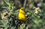 Southern Yellow Grosbeak  011610-1j  Yanacocha