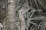 Ladder-tailed Nightjar  012010-1j  Sani