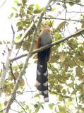 Squirrel Cuckoo  011410-1j  Tandaypa