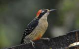 Black-cheeked Woodpecker 011210-1j  Puerto Vicente