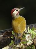 Golden-olive Woodpecker  011210-4j  Puerto Vicente