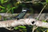 Amazon Kingfisher  011910-2j  Sani