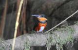 Pygmy Kingfisher  012010-2j  Sani
