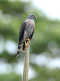 Double-toothed Kite  011610-3j  Tandaypa