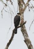 Collared Forest Falcon  011510-1j  Tandaypa