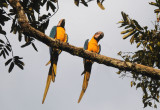 Blue and Yellow Macaw  012210-2j  Sani